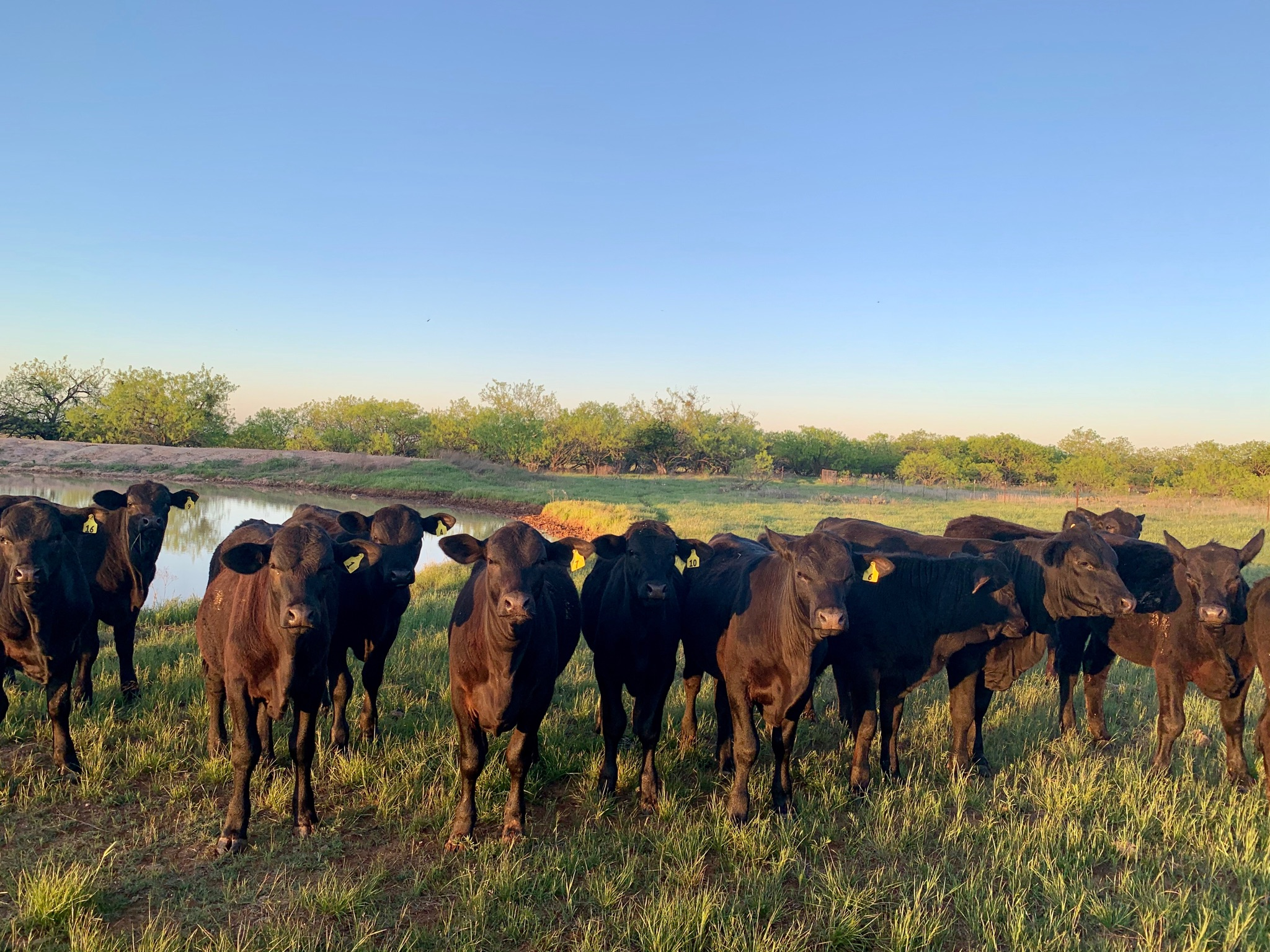 Rough Creek Cattle Texas Bred, Grass Fed Brangus