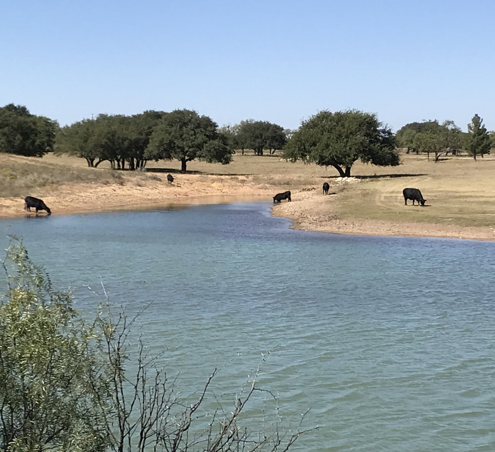 Rough Creek Ranch Grass Fed Brangus Cattle Grazing near Water